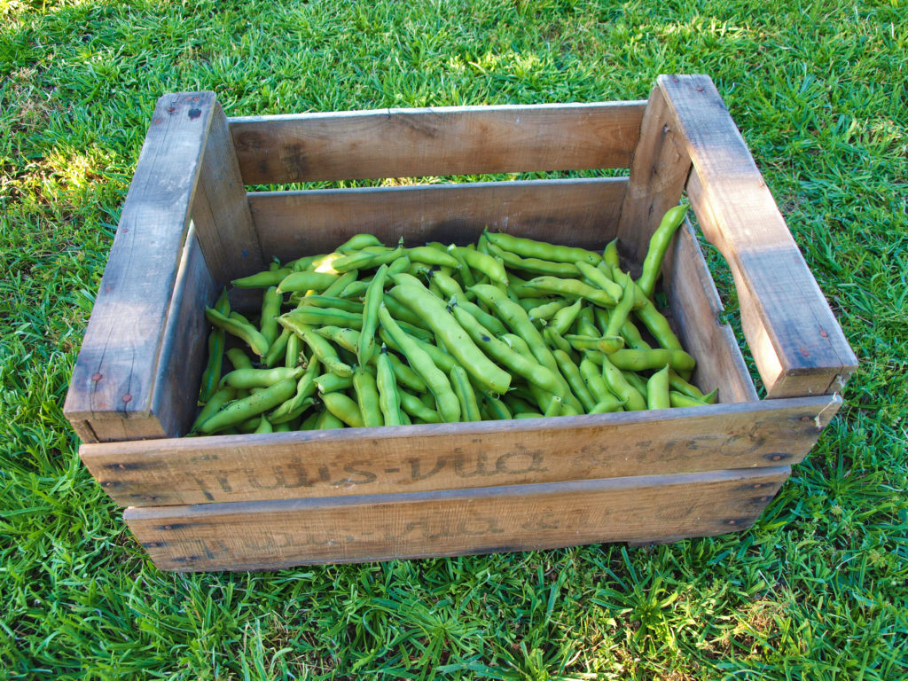 Broad Beans of the Hostal Nou's vegetable garden